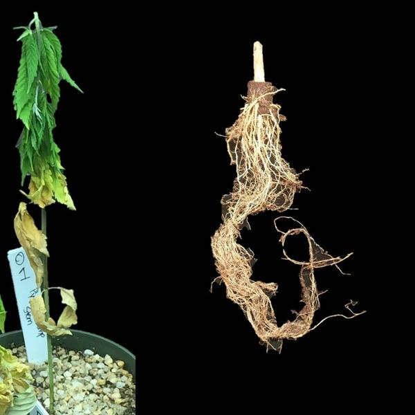 Symptoms of wilt and root rot caused by Pythium sp.