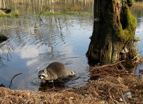 photo of a raccon foraging at swamp edge