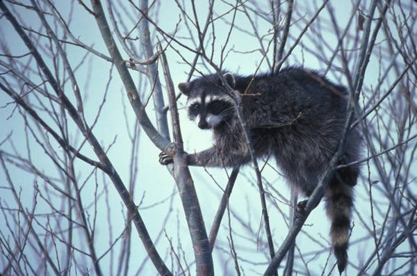 Photo of raccon in a tree top during winter