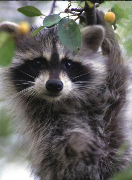 Photo of a raccoon feeding in a crab apple tree