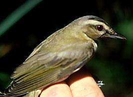 Photo of red-eyed vireo