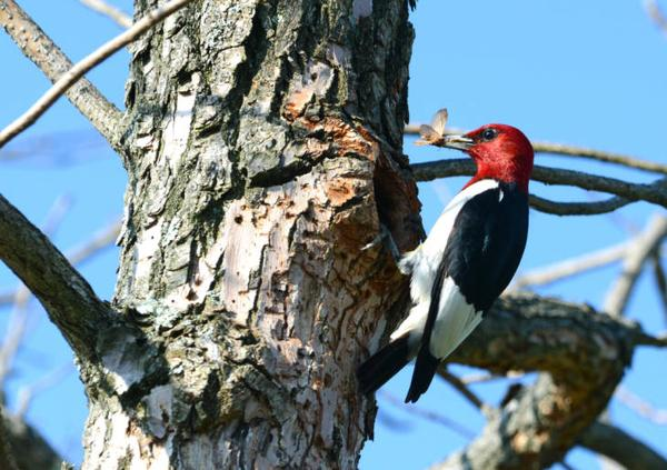 Photo of woodpecker on snag