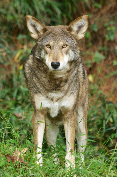 Photo of a redwolf  from a frontal perspective