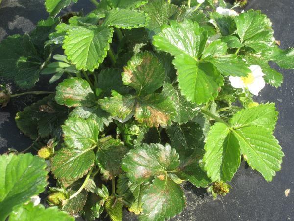 Fomesafen POST on strawberry one week after treatment.