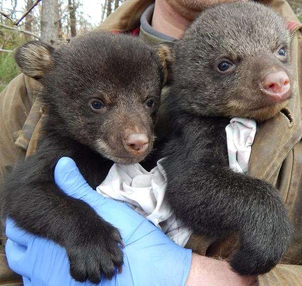 Photo of black bear cubs being held by a researcher