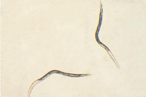 Thumbnail image for Root-Knot Nematode of Tomato