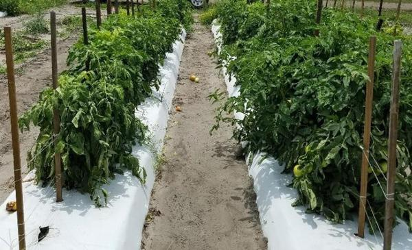 Two rows of tomato, one stunted and wilting due to RKN infection