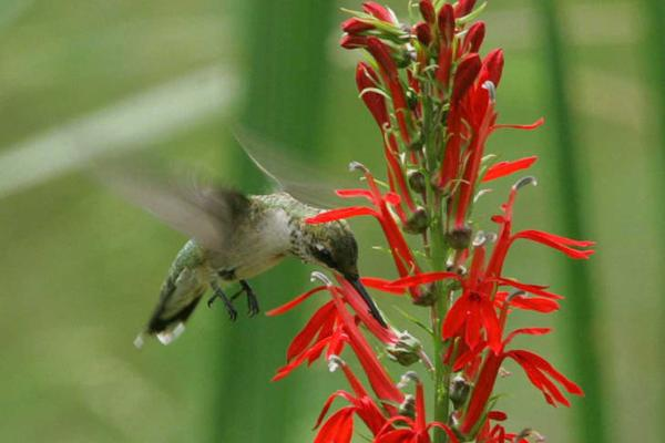 photo of ruby-throated hummingbird on red flower