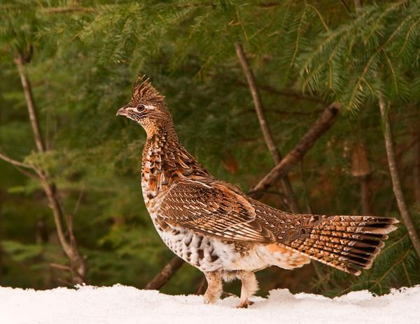 photo of a ruffed grouse in snow with forest in background
