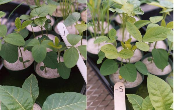 Thumbnail image for Mid-Season Soybean Sulfur (S) Deficiency