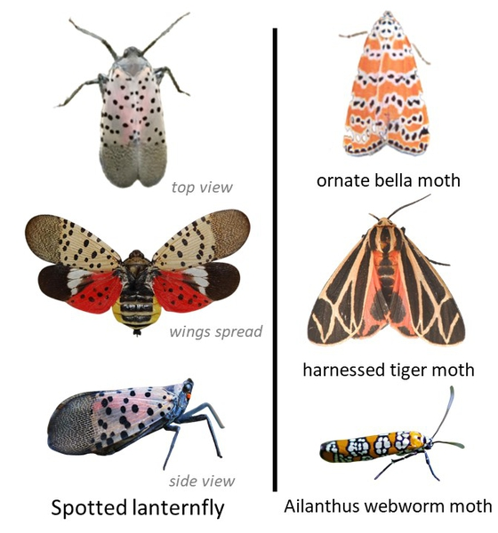 spotted lanternfly next to 3 similarly colored moths