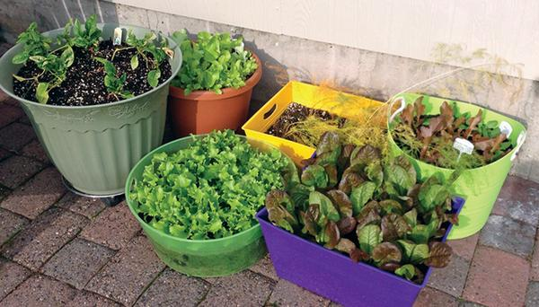 Cultivo en macetas de verduras para ensalada.