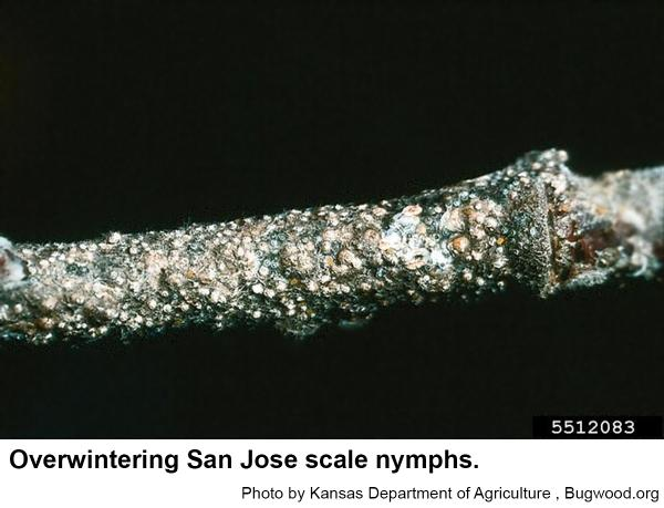 San Jose scales overwinter mostly as nymphs.