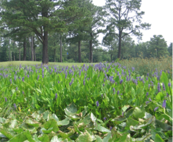 Figure 7. Wetland along no. 10 tee box, Chowan Country Club.