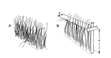 Illustration of raspberries growing untrellised and on crossbar