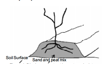 Figure 1. Blueberry plant set in peat sand mixture.