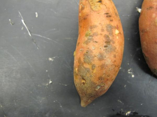 Typical scurf symptoms on sweetpotato.