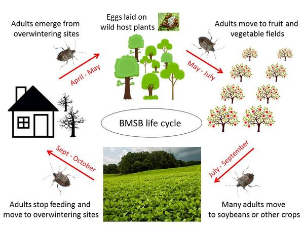 Diagram of the brown marmorated stink bug life cycle