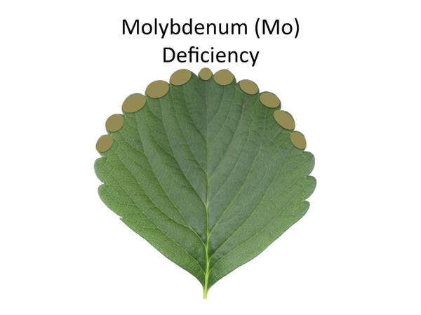 Thumbnail image for Strawberry Molybdenum (Mo) Deficiency