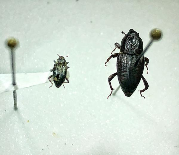 Annual bluegrass weevil adult (left), Hunting billbug adult (rig
