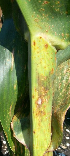 Damage to corn stalk from southern corn rust