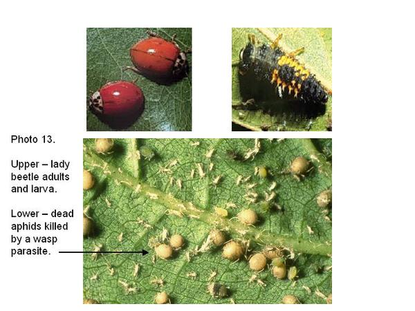 Top photo: lady beetle adults and larva; Bottom: dead aphids