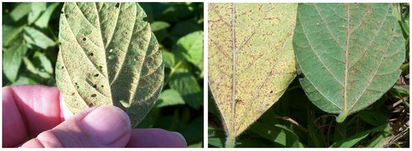 Thumbnail image for Asian Soybean Rust