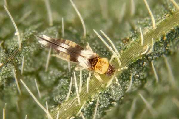 Thumbnail image for Thrips in Soybean