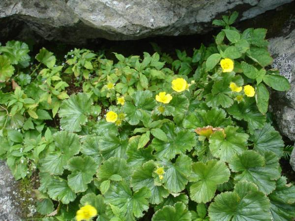 Photo of yellow flowers amongst a spreading avens plant