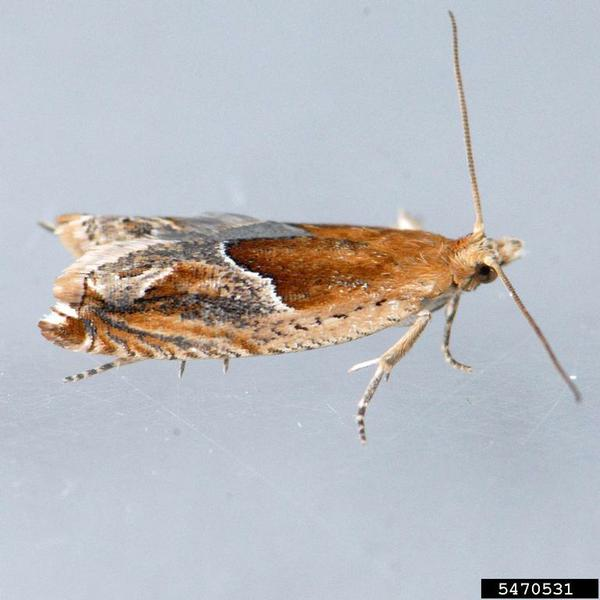 Strawberry leafroller moth