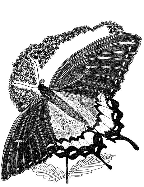 Illustration of swallowtail butterfly.