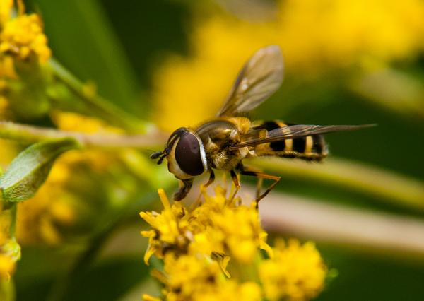 Syrphid fly adult (on goldenrod)