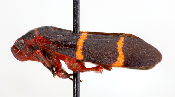Figure 2. Twolined spittlebug adult (lateral)