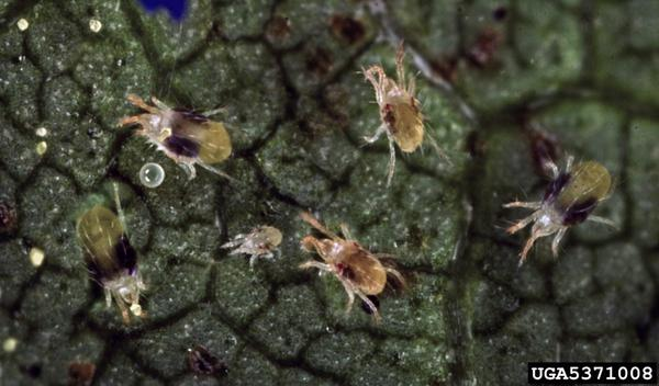 Thumbnail image for Spider Mites in North Carolina Grapes