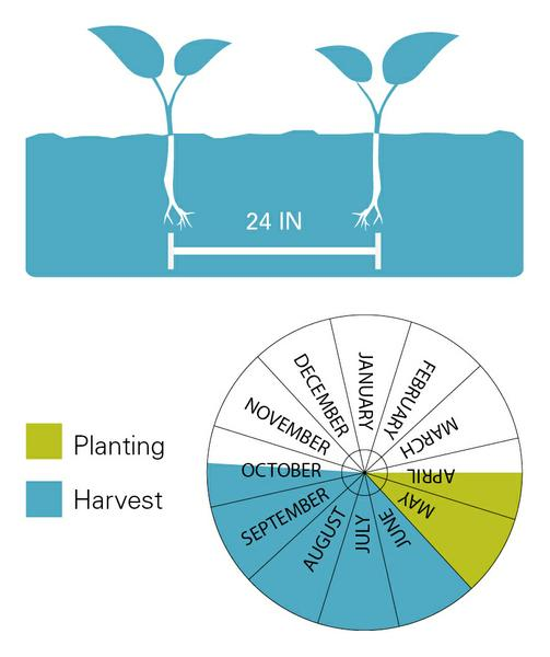 Tomatoes planting and harvest dates.