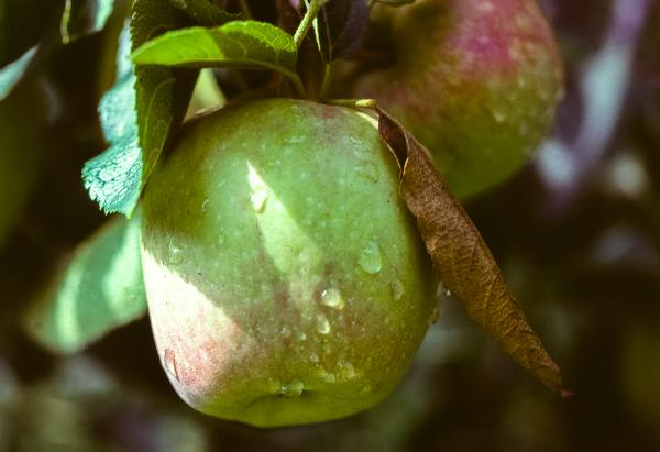 Leaf attached to apple during RBLR feeding