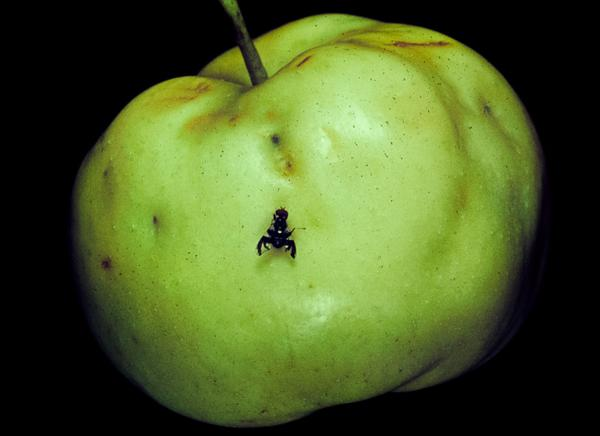 Apple maggot adult with egg-laying scars on apple