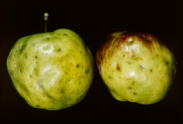 Apple maggot damage, exterior