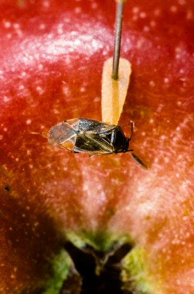 Thumbnail image for Tarnished Plant Bug