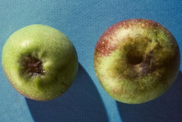 Sooty mold caused by CMB on apple
