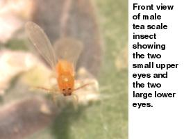 Figure 6. Front view of male tea scale insect.