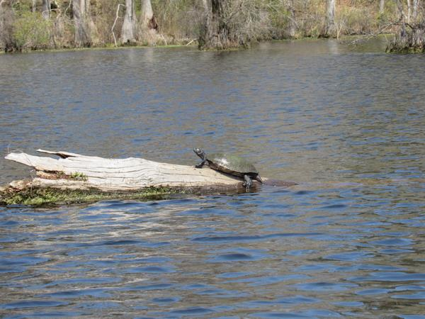 Photo of turtle basking on log.