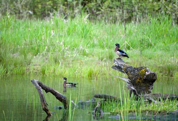 Photo of alert male wood ducks in swamp setting