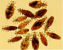 Thumbnail image for Lice: What They Are and How to Control Them