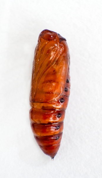 Figure 5. Fall armyworm pupa