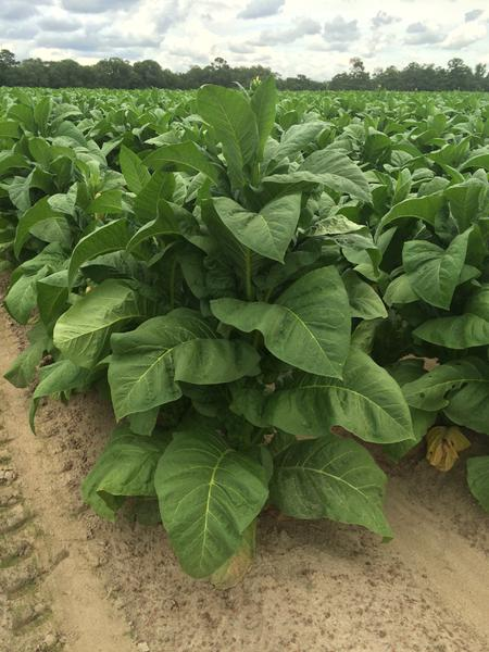 Tobacco production (no symptoms of Mo deficiency)