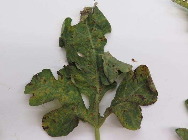 Alternaria leaf blight on watermelon