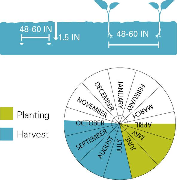 Watermelons planting and harvest dates.