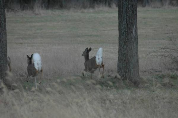 Photo of running deer with white tails in full display to viewer