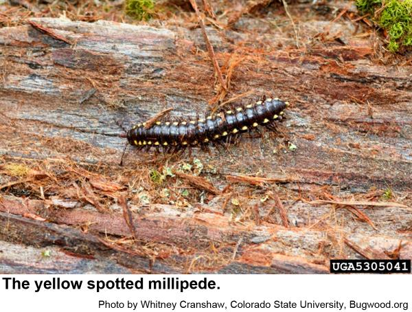 Yellow spotted millipedes spend